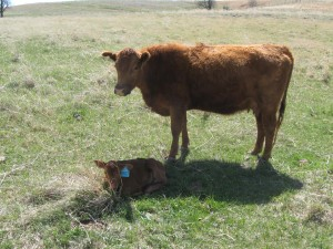 Red Angus heifer with first calf